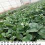 保證品種的天仙醉草莓苗,圣安德瑞斯草莓苗是基地