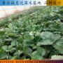 淡雪草莓苗上海秋季價格、醉俠草莓苗