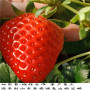 牛奶草莓種苗山東省優質生產苗圃