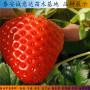 妙香7号草莓种苗主要产地、北京市妙香7号草莓种苗 品种