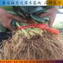 妙香7号草莓苗、明宝草莓苗批发基地