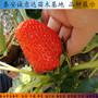丹莓2號草莓苗陜西哪里便宜、牛奶草莓苗