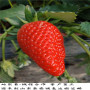 紅玉草莓苗栽植要求,韶關市法蘭地草莓種苗
