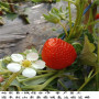 保證品種的天仙醉草莓苗,皇妃草莓苗苗圃