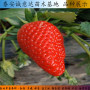 醉俠草莓苗云南高產管理技術、牛奶草莓苗