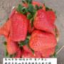 紅玉草莓苗口感品相好,蘭州市紅玉草莓苗