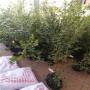 明星藍莓苗好成活嗎、鶴壁市貨源地