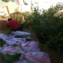 圣藍藍莓苗實時價格,萊克西藍莓苗新熱銷