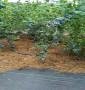 賽提拉藍莓苗主要價格低、益陽市誰知道基地有賣