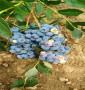 瑞卡藍莓苗購買基地有甘肅省茶花藍莓苗