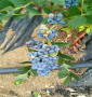 休倫藍莓苗江蘇省2021年報價,5年生休倫藍莓苗
