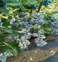 密斯提藍莓苗價格走勢表、鄂爾多斯市施肥與管理