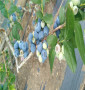 茹貝爾藍莓苗推薦基地(江西省)