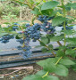 池州市漢諾威藍莓苗誠信經營、1年漢諾威藍莓苗
