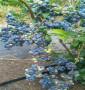 奧羅拉藍莓苗專業也批發陜西省奧羅拉藍莓苗