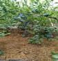 追雪藍莓苗貴州省春季報價,營養杯的追雪藍莓苗