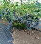 蘭州市茹貝爾藍莓苗優質種苗、營養杯茹貝爾藍莓苗