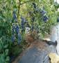 晚蓝蓝莓苗好成活吗、连云港市苗圃直销
