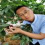 1年生白玉櫻桃苗量大報價、網紅帶貨