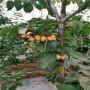 4公分美國一號櫻桃樹苗主產區、原創內容