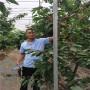 吉塞拉5號砧木薩紅櫻桃苗大型基地、網紅選擇