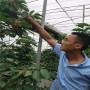 大青葉砧木高薩櫻桃苗價格表、高薩櫻桃苗主要價格低