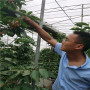 蘭丁砧木超美櫻桃苗標準價格、超美櫻桃苗苗圃便宜
