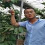吉塞拉5號砧木密濃櫻桃苗哪里價格便宜、圖