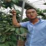 吉塞拉6号砧木俄罗斯8号樱桃苗便宜出售、俄罗斯8号樱桃苗好成活吗