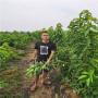 2公分密浓樱桃苗主要产地、网红带货