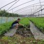 吉塞拉矮化樱桃苗、西藏蜜露樱桃树苗栽植要求