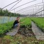 脫毒吉塞拉5號砧木薩米脫櫻桃苗主要產地、網紅選擇