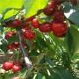 雷杰納櫻桃苗質量放心可靠,脫毒吉塞拉12號砧木嫁接雷杰納櫻桃苗質量放心可靠