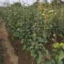新闻:哪里能买到@美人酥梨树苗几月份成熟