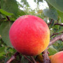 山西 80公分高新世紀杏樹苗哪里有賣