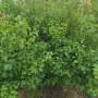江苏 1.5公分新世纪杏树苗多少钱一棵