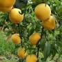 江西 1.5米高早熟杏树苗产地