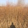浙江 80公分高金太阳杏树苗哪里有卖