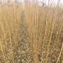 福建 5公分珍珠油杏种苗基地