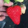 供应河北省 隋珠草莓苗供应