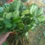 草莓苗銷售貴州省 白雪公主草莓苗基地