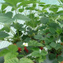 供应安徽省 丰香草莓苗一亩地种植多少棵