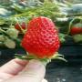 供应陕西省 草莓穴盘苗基地