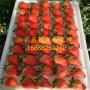 石莓七号草莓苗多少钱、石莓七号草莓苗基地价格