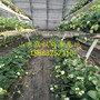 供应妙香3号草莓苗供应价格、妙香3号草莓苗价格