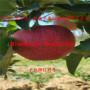 松原红宝石甜苹果苗-3年生松原红宝石甜苹果苗