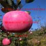 2年生瑞阳苹果树苗 新西兰红玫瑰苹果树苗价格报价