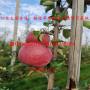 中秋王苹果苗 M26苹果苗多少钱价格