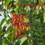 福星櫻桃樹苗那里有賣的、福星櫻桃樹苗批發市場