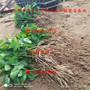 桑德拉玫瑰櫻桃苗 購買桑德拉玫瑰櫻桃苗